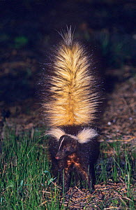 Striped skunk {Mephitis mephitis} in defensive pose, Welder Wildlife Refuge, Sinton, Texas, USA. - Rolf Nussbaumer