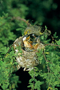 White eyed vireo {Vireo griseus} removing fecal sac from nest with chicks in Huisache Tree, Welder Wildlife Refuge, Sinton, Texas, USA.  -  Rolf Nussbaumer