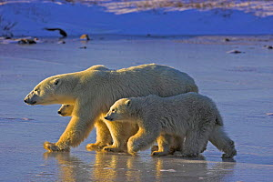 Polar bear {Ursus maritimus} mother and cubs walking on ice, Cape Churchill, Canada. - TJ Rich