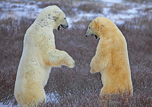 Polar bears {Ursus maritimus} play-fighting, Cape Churchill, Canada. - TJ Rich