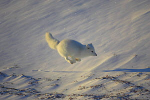 Arctic fox {Vulpes / Alopex lagopus} running on frozen kelp bed, Cape Churchill, Canada. - TJ Rich