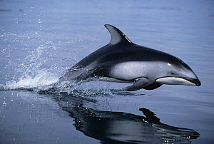 Pacific White-sided Dolphin {Lagenorhynchus obliquidens} leaping. British Columbia, Canada, Pacific Ocean.  -  Brandon Cole