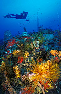 Scuba diver swimming over colourful Coral reef with Sponge growth and Crinoids. Dominica, Caribbean Sea.  -  Brandon Cole