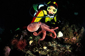 Pacific giant octopus {Enteroctopus dofleini / Octopus dofleini} baby interacts with female scuba diver, Pacific Northwest.  -  Brandon Cole