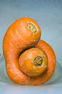 Malformed Carrot {Daucus carota} Supermarket reject. Carrots have to conform to a standard size and shape.  -  Georgette Douwma