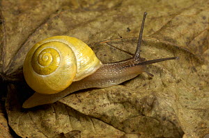 White-lipped banded snail (Cepaea hortensis) Shell colour variable, can have brown spiral bands. UK  -  Georgette Douwma