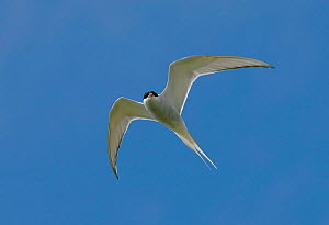 Arctic Tern {Sterna paradisaea} In flight, North Uist, Outer Hebrides, Scotland, UK. - Andy Sands