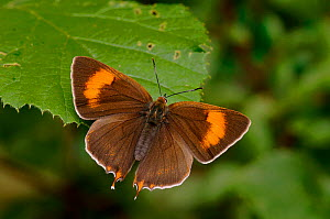 Brown Hairstreak {Thecla betulae} female basking with wings open, Captive, UK. - Andy Sands