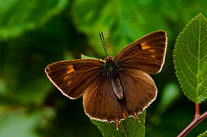 Brown Hairstreak {Thecla betulae} male basking with wings open, captive, UK. - Andy Sands