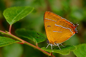 Brown Hairstreak {Thecla betulae} sitting on Backthorn leaf with wings closed, Captive, UK. - Andy Sands