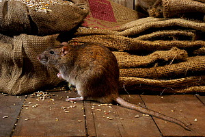 Brown Rat {Rattus norvegicus} Feeding on grain, captive, UK. - Andy Sands