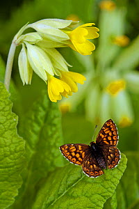 Duke of Burgundy butterfly {Hamearis lucina} basking with wings open on Cowslip, Captive, UK.  -  Andy Sands