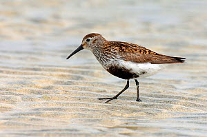 Dunlin {Calidris alpinus / alpina} male with breeding plumage on sand at low tide, North Uist, Outer Hebrides, Scotland. - Andy Sands