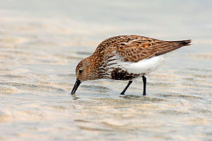 Dunlin {Calidris alpinus / alpina} male with breeding plumage feeding at low tide, North Uist, Outer Hebrides, Scotland - Andy Sands
