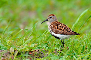 Dunlin {Calidris alpinus / alpina} male with breeding plumage among machair grassland, North Uist, Outer Hebrides, Scotland - Andy Sands