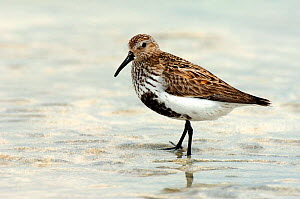 Dunlin {Calidris alpinus / alpina} male with breeding plumage on sand at low tide, North Uist, Outer Hebrides, Scotland - Andy Sands