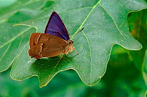 Purple Hairstreak {Quercusia quercus} male on Oak leaf with wings partially open, Captive, UK  -  Andy Sands