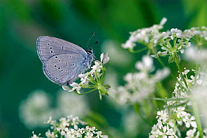 Little blue butterfly {Cupido minimus} on flowers, UK. Captive  -  Andy Sands