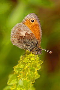 Small heath butterfly {Coenonympha pamphilus} resting on plant, Captive, UK. - Andy Sands