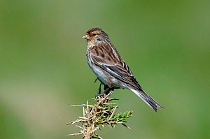 Twite {Acanthis flavirostris} perching on top of Gorse bush, North Uist, Outer Hebrides, Scotland  -  Andy Sands