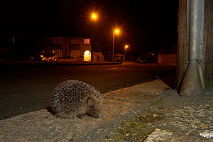 Hedgehog {Erinaceus europaeus} foraging on pavement in urban area, Hertfordshire, England  -  Andy Sands