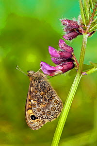 Wall brown / Wall butterfly {Lasiommata mergera} resting on flower with wings closed, Captive, UK. - Andy Sands