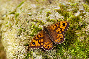 Wall brown / Wall butterfly {Lasiommata megera} Basking on rock with wings open, Captive, UK. - Andy Sands
