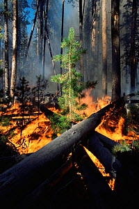 Flames engulf Lodgepole pine trees in forest fire, Yellowstone NP, Wyoming, USA. 1988  -  Steven Fuller