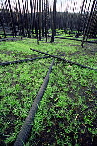 Grass regrowth after forest fire in Lodgepole pine forest, Yellowstone NP, Wyoming, USA. 1988  -  Steven Fuller