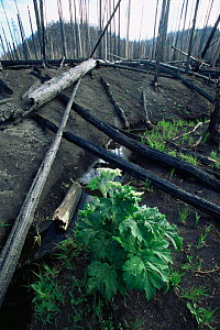 Plant and grass regrowth after forest fire in Lodgepole pine forest, Yellowstone NP, Wyoming, USA. 1988  -  Steven Fuller