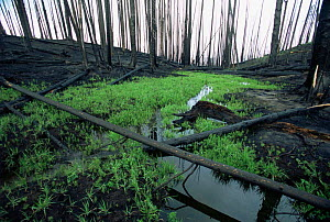 Regrowth of vegetation after forest fire in Lodgepole pine forest, Yellowstone NP, Wyoming, USA. 1988  -  Steven Fuller