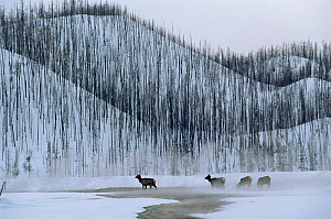 Elk graze in winter beside Lodgepole pine forest destroyed by forest fire, Yellowstone NP, Wyoming, USA. 1988  -  Steven Fuller