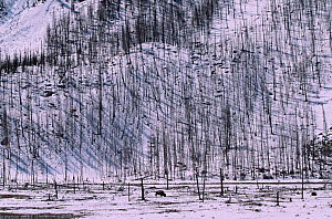 Bison graze in winter beside Lodgepole pine forest destroyed by forest fire, Yellowstone NP, Wyoming, USA. 1988  -  Steven Fuller