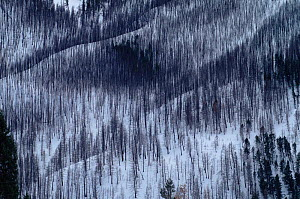 Lodgepole pine forest in winter destroyed by forest fire, Yellowstone NP, Wyoming, USA. 1988  -  Steven Fuller