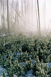 Lodgepole pine seedlings grow in Lodgepole pine forest destroyed by forest fire, Yellowstone NP, Wyoming, USA. 1988  -  Steven Fuller