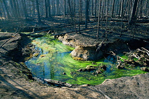 Aquatic plants grow in Lodgepole pine forest destroyed by forest fire, Yellowstone NP, Wyoming, USA. 1988  -  Steven Fuller