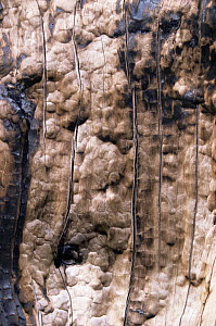 Close up of Bark of Lodgepole pine tree cracked by heat from forest fire, Yellowstone NP, Wyoming, USA. 1988  -  Steven Fuller