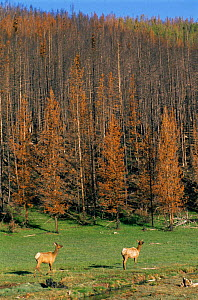 Elk at summer grazing year after forest fire destroys Lodgepole pine forest, Yellowstone NP, Wyoming, USA. 1989  -  Steven Fuller