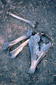 Charred bones of animal killed in forest fire, Yellowstone NP, Wyoming, USA. 1989  -  Steven Fuller
