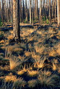 Plants regenerating after forest fire in Lodgepole pine forest, Yellowstone NP, Wyoming, USA. 1989  -  Steven Fuller