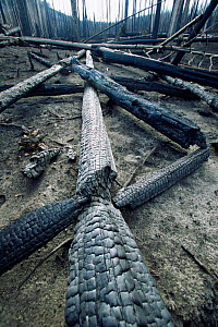 Fallen burnt trunks of Lodgepole pine trees killed in forest fire, Yellowstone NP, Wyoming, USA. 1988  -  Steven Fuller