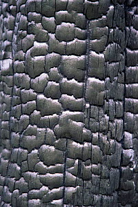 Close up of bark of Lodgepole pine tree burnt in forest fire, Yellowstone NP, Wyoming, USA. 1988  -  Steven Fuller