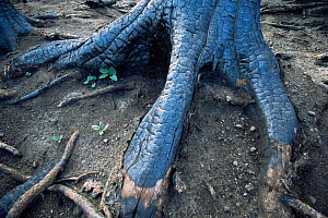Close up of bark of roots of Lodgepole pine tree burnt in forest fire, Yellowstone NP, Wyoming, USA. 1988  -  Steven Fuller
