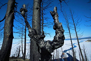 Burnt trunk of Lodgepole pine tree killed in forest fire, Yellowstone NP, Wyoming, USA. 1988  -  Steven Fuller