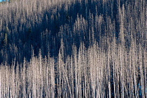Lodgepole pine forest after forest fire, Yellowstone NP, Wyoming, USA. 1988  -  Steven Fuller