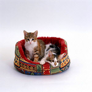 Domestic Cat {Felis catus} Two tabby-and-white kittens in oval bed  -  Jane Burton