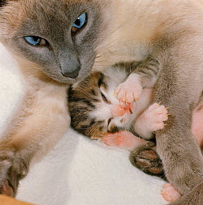 Domestic Cat {Felis catus} stray Siamese female 'Perdita' with single kitten. (Note - Likely that stress or starvation resulted in reabsorption of other embryos) - Jane Burton