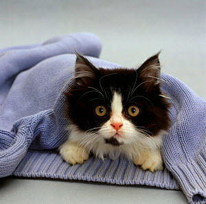 Domestic Cat {Felis catus} Black-and-white semi-longhaired kitten 'Felicity' ('Cosmos' x 'Millie') in blue pullover. - Jane Burton