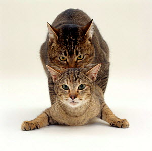 Domestic Cat {Felis catus} Agouti tabby male holding Tabby female  by the scruff and treading her as they position for penetration. - Jane Burton