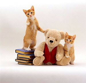Domestic Cat {Felis catus} two red kittens with cream Teddy Bear in red waistcoat.  -  Jane Burton